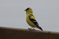 Chardonneret jaune mâle