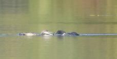 Plongeon Huard en train de nourrir son jeune